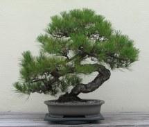 Japanese_Black_Pine,_1936-2007